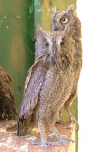 Otus_scops_ab_cropped